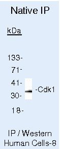 CDK1 Antibody (MA5-11469) in Immunoprecipitation