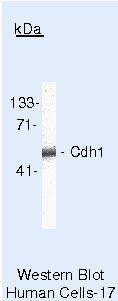 E-cadherin Antibody (MA5-11496) in Western Blot