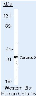 Caspase 3 Antibody (MA5-11521) in Western Blot