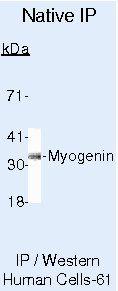 Myogenin Antibody (MA5-11658) in Immunoprecipitation