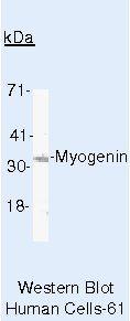 Myogenin Antibody (MA5-11658) in Western Blot