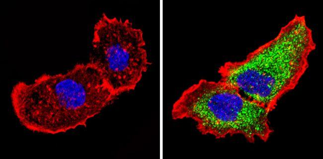 14-3-3 sigma Antibody (MA5-11663) in Immunofluorescence