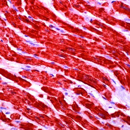 Cytochrome C Antibody (MA5-11674) in Immunohistochemistry