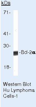 Bcl-2 Antibody (MA5-11757) in Western Blot