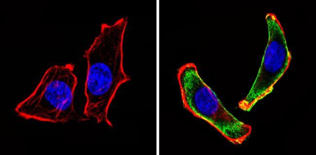 CD24 Antibody (MA5-11828) in Immunofluorescence