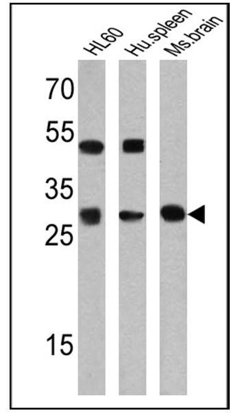 PR3 Antibody (MA5-11945)