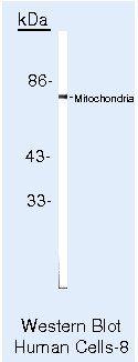 Mitochondria Antibody (MA5-12014)
