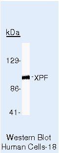 XPF Antibody (MA5-12060)