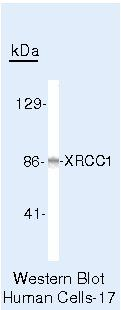 XRCC1 Antibody (MA5-12071) in Western Blot