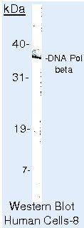 POLB Antibody (MA5-12086) in Western Blot