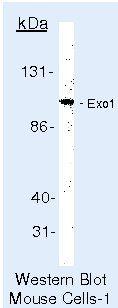 EXO1 Antibody (MA5-12262) in Western Blot
