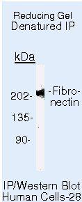 Fibronectin Antibody (MA5-12314) in Immunoprecipitation