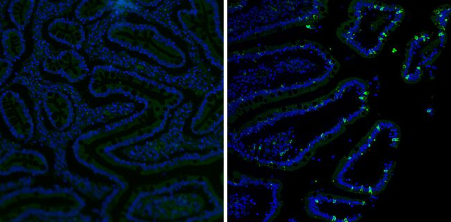 MUC2 Antibody (MA5-12345) in Immunofluorescence