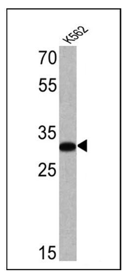 CD235a Antibody (MA5-12484) in Western Blot