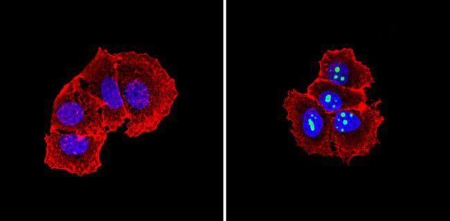 NPM1 Antibody (MA5-12508) in Immunofluorescence