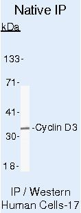 Cyclin D3 Antibody (MA5-12717) in Immunoprecipitation