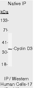 Cyclin D3 Antibody (MA5-12726) in Immunoprecipitation