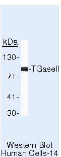 TGM2 Antibody (MA5-12739) in Western Blot