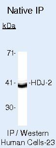 HDJ2 Antibody (MA5-12745) in Immunoprecipitation