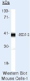 HDJ2 Antibody (MA5-12745)