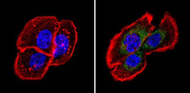Fibrillin 1 Antibody (MA5-12770) in Immunofluorescence