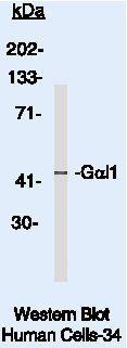GNAI1 Antibody (MA5-12800) in Western Blot