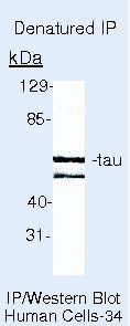 Tau Antibody (MA5-12808) in Immunoprecipitation