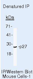 p27 Kip1 Antibody (MA5-12832) in Immunoprecipitation