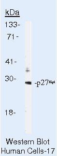 p27 Kip1 Antibody (MA5-12832) in Western Blot