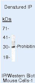 Prohibitin Antibody (MA5-12855) in Immunoprecipitation