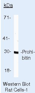 Prohibitin Antibody (MA5-12855) in Western Blot