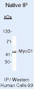 MYOD Antibody (MA5-12902) in Immunoprecipitation
