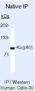 Ku80 Antibody (MA5-12930) in Immunoprecipitation