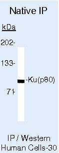 Ku80 Antibody (MA5-12933) in Immunoprecipitation