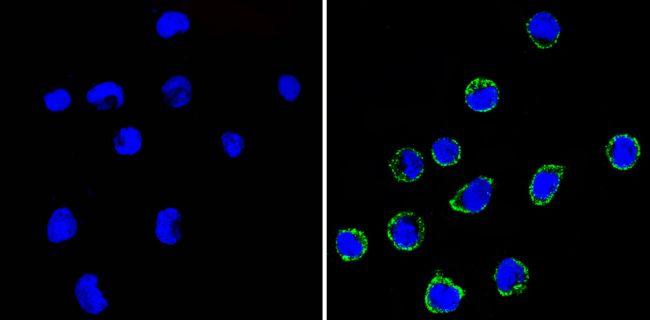 CD99 Antibody (MA5-12954) in Immunofluorescence