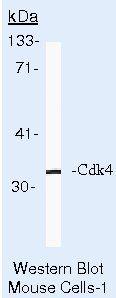 CDK4 Antibody (MA5-12981) in Western Blot