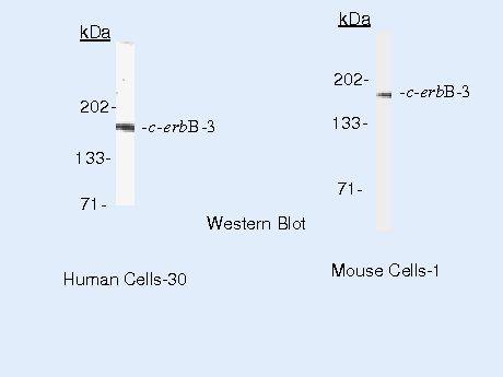ErbB3 Antibody (MA5-13037)