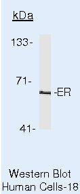 Estrogen Receptor alpha Antibody (MA5-13065) in Western Blot