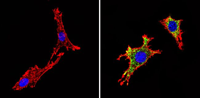 Chromogranin A Antibody (MA5-13096) in Immunofluorescence