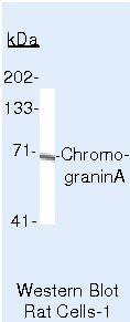 Chromogranin A Antibody (MA5-13096) in Western Blot