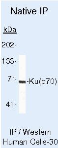 Ku70 Antibody (MA5-13110) in Immunoprecipitation