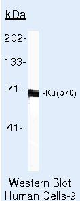 Ku70 Antibody (MA5-13110) in Western Blot