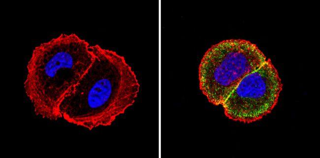 MUC1 Antibody (MA5-13168) in Immunofluorescence