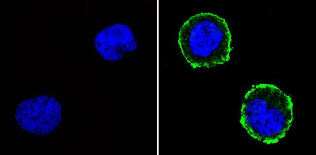 CD31 Antibody (MA5-13188)