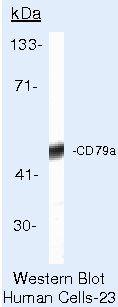 CD79a Antibody (MA5-13209) in Western Blot