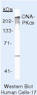 DNA-PK Antibody (MA5-13238) in Western Blot