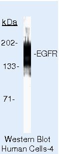 EGFR Antibody (MA5-13266)