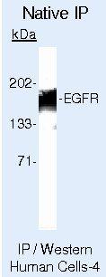 EGFR Antibody (MA5-13319) in Immunoprecipitation