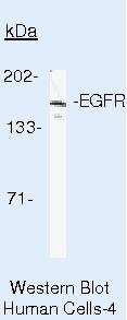 EGFR Antibody (MA5-13319) in Western Blot
