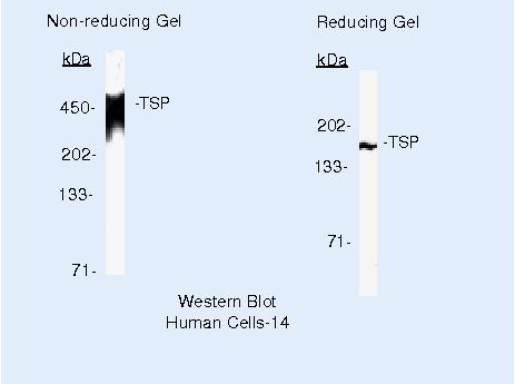 Thrombospondin 1 Antibody (MA5-13385) in Western Blot